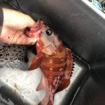 【超簡単】伊豆半島 根魚の釣り方! 堤防・地磯・ゴロタどこでもOK!※実際に釣った仕掛けや餌も紹介していきます!