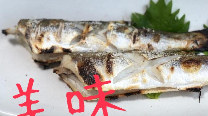 今度は江之浦漁港でカマスを釣って食う!!満足な釣果でありました!