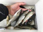 【早川】ホームリバーは程よい増水で青ノロスッキリ!!残り垢で良型多数♪自作ハナカン周り&イカリで試し釣り・・
